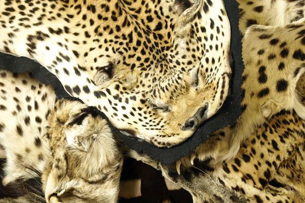 Kłusownictwo a gatunki zagrożone